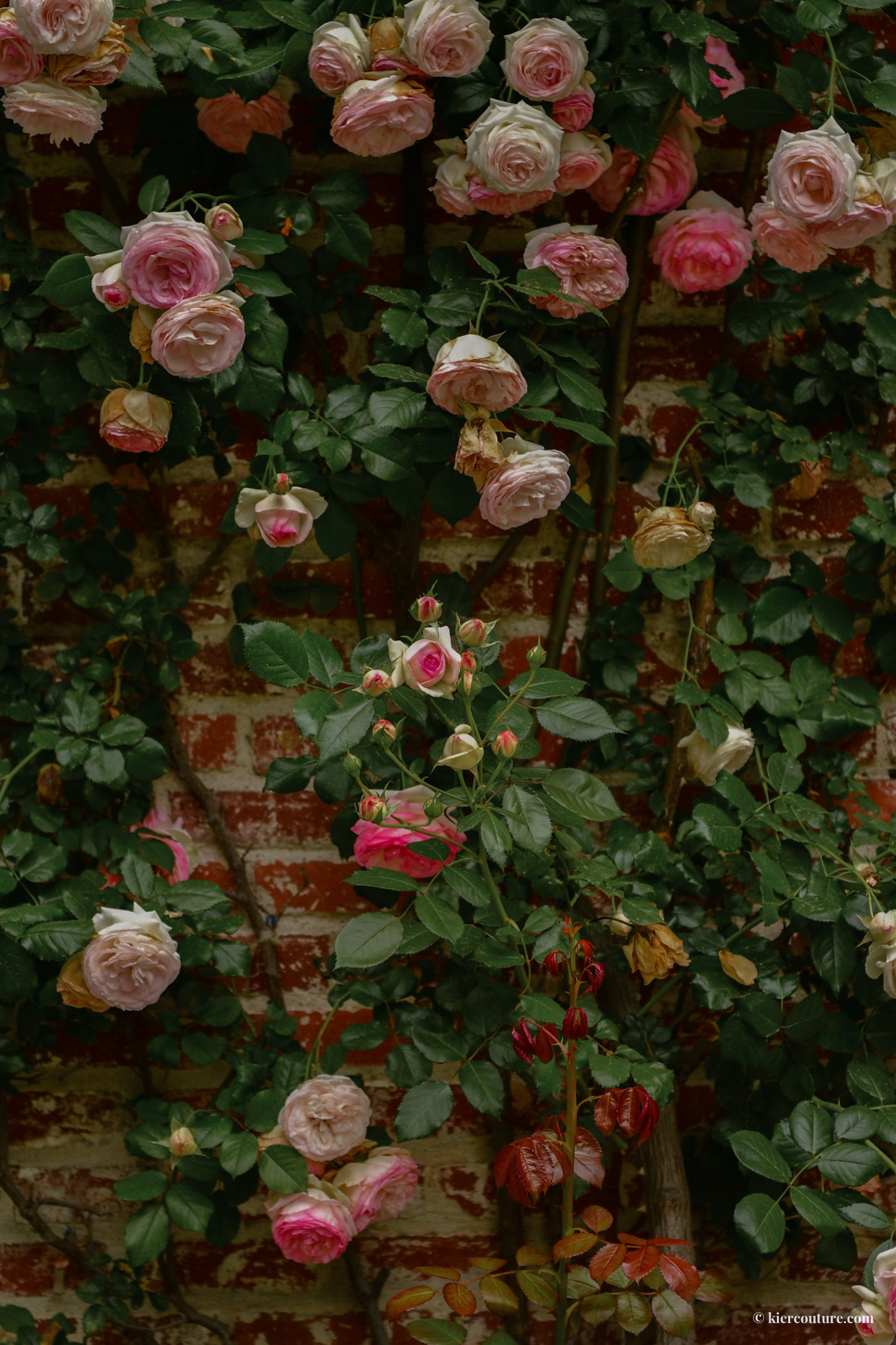 pink roses on brick wall